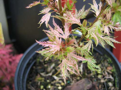 Abigail Rose (Acer palmatum 'Abigail Rose')