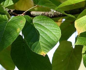 Acer distylum (Acer distylum)