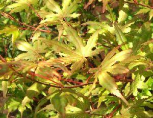 Akashigitatsusawa (Acer palmatum 'Akashigitatsusawa')
