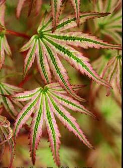 Alpenweiss (Acer palmatum 'Alpenweiss')