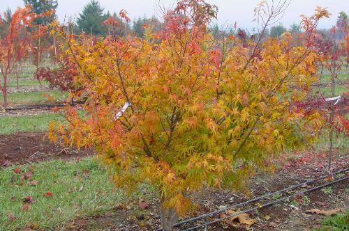 Ao shimi no uchi (Acer palmatum 'Ao shimi no uchi')