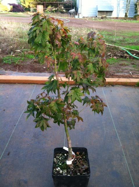 Aoba jo (Acer palmatum 'Aoba jo')