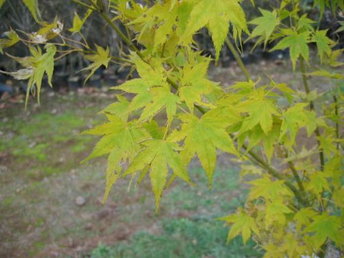 Aoyagi (Acer palmatum 'Aoyagi')