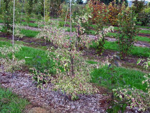 Argentea (Cornus alternifolia 'Argentea')