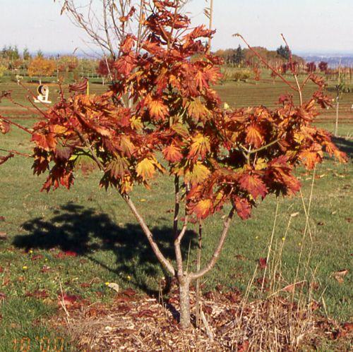 Attaryi (Acer japonicum 'Attaryi')