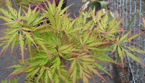 Autumn Fire (Acer palmatum 'Autumn Fire')