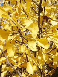 Autumn Gold (Ginkgo biloba 'Autumn Gold')