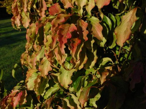 Autumn Rose (Cornus kousa 'Autumn Rose')