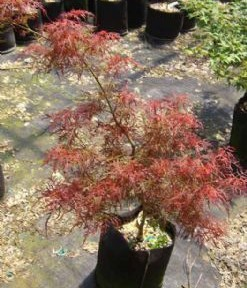 Baby Lace (Acer palmatum 'Baby Lace')