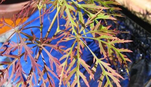 Baldsmith (Acer palmatum 'Baldsmith')