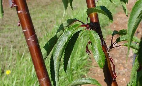 Birchbark Cherry (Prunus serrula)