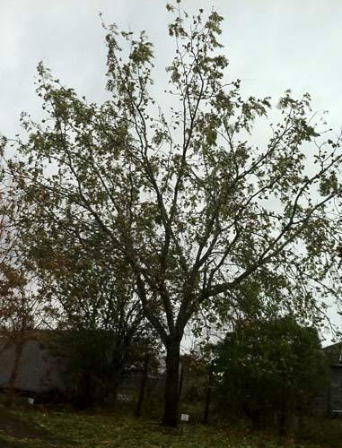Black Walnut (Juglans nigra )