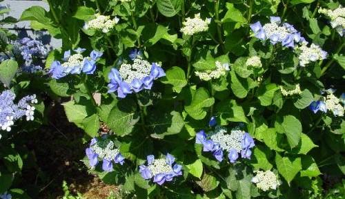 Blaumeise (Hydrangea macrophylla 'Blaumeise')