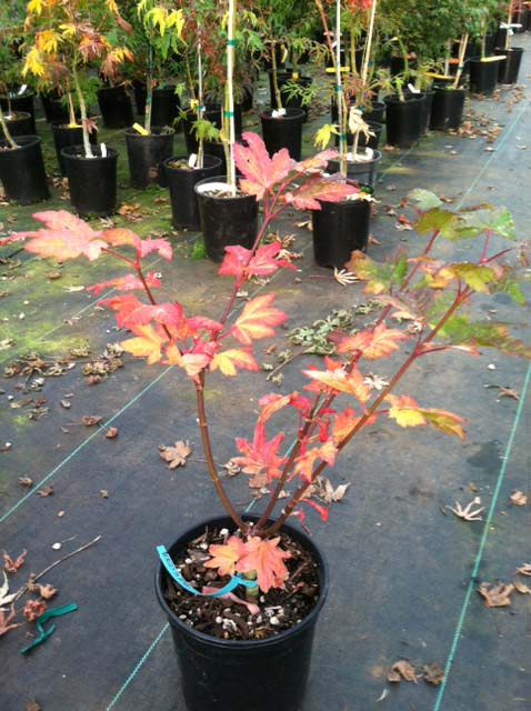 Burgundy Jewel (Acer circinatum 'Bugundy Jewel')