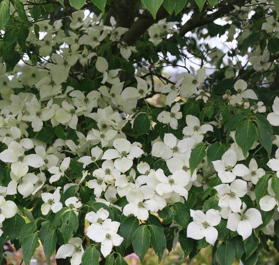 China Girl (Cornus kousa 'China Girl')