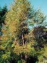 Chinese Red Birch (Betula albo-sinensis)