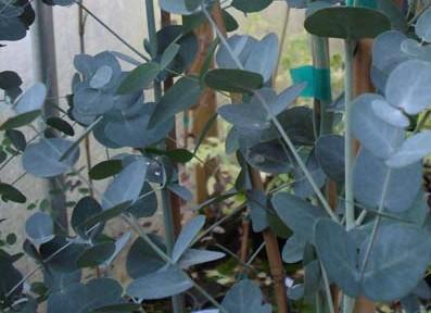 Cider gum (Eucalyptus gunnii)