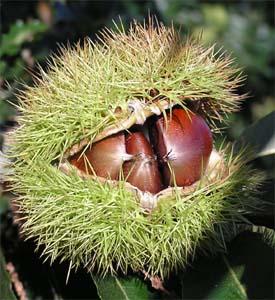 Colossal Chestnut (Castanea Colossal hybrid)