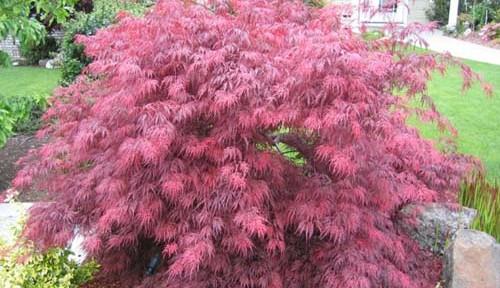 Crimson Queen (Acer palmatum 'Crimson Queen')