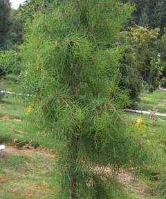 Debonair (Taxodium ascendens 'Debonair')