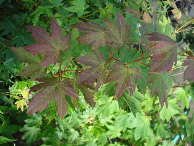 Del's Dwarf (Acer circinatum 'Del's Dwarf')