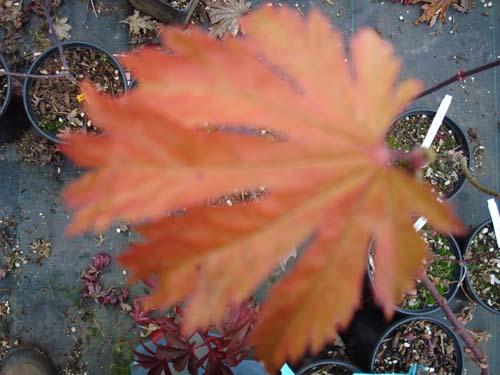 Emmit's Pumpkin (Acer japonicum 'Emmett's Pumpkin')