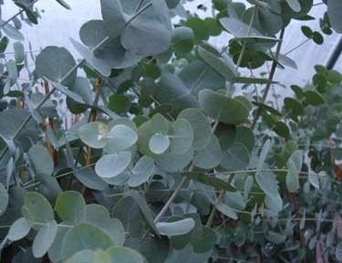 Eucalyptus cinerea (Eucalyptus cinerea)