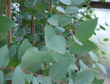 Eucalyptus dalrympleana (Eucalyptus dalrympleana)