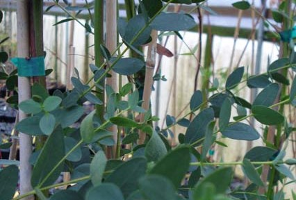 Eucalyptus parvula (Eucalyptus parvula)
