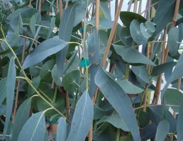 Eucalyptus perriniana (Eucalyptus perriniana)
