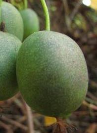 Female Hardy Kiwi (Actinidia cordifolia)