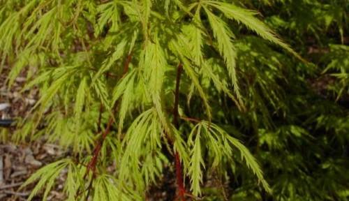 Filigree (Acer palmatum 'Filigree')