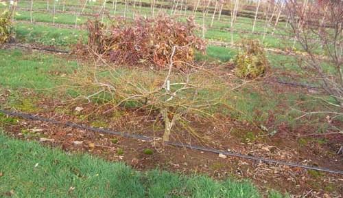 Germaines Gyration (Acer palmatum 'Germaines Gyration')