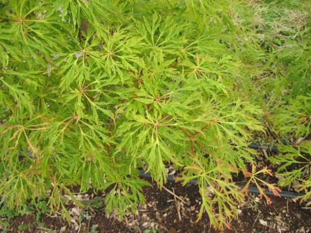 Green Cascade (Acer japonicum 'Green Cascade')