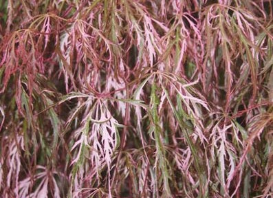 Hana matoi (Acer palmatum 'Hana matoi')