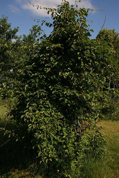 Hardy Male (Actinidia arguta 'Male')