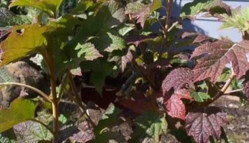 Hydrangea (Hydrangea quercifolia 'Snowqueen')