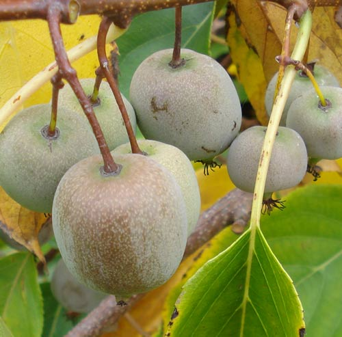 Kens Red (Actinidia arguta 'Kens Red')