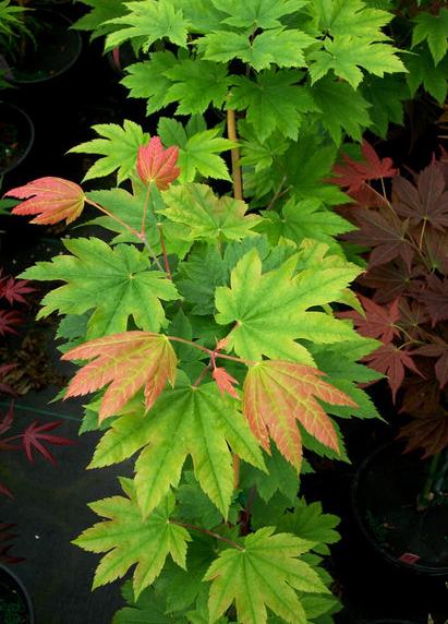 Meigetsu (Acer japonicum 'Meigetsu')