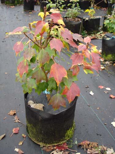 Miyasama Yatsubusa (Acer buergerianum 'Miyasama yatsubusa')
