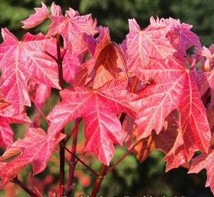 Mocha Rose (Acer macrophylla 'Mocha Rose')