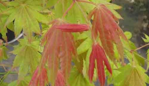 Moonrise (Acer shirasawanum 'Munn's Moonrise' (TM))