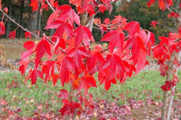 Ningpoense (Acer buergeranum 'Ningpoense')