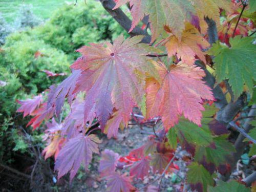 O isami (Acer japonicum 'O isami')