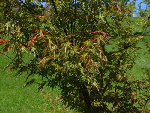 Okushimo Acer Palmatum Okushimo Whitman Farms