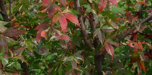 Painted Maple (Acer mono 'Shushu nishiki')