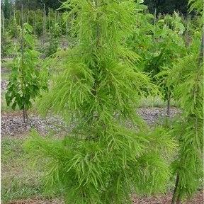 Pendens (Taxodium distichum 'Pendens')