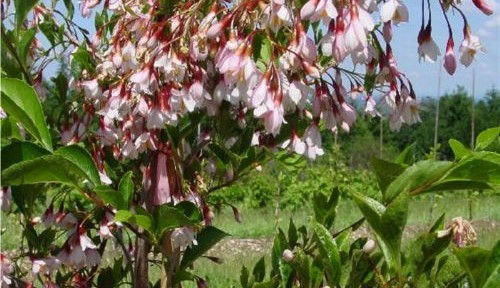 Pink Chimes (Styrax japonica 'Pink Chimes')