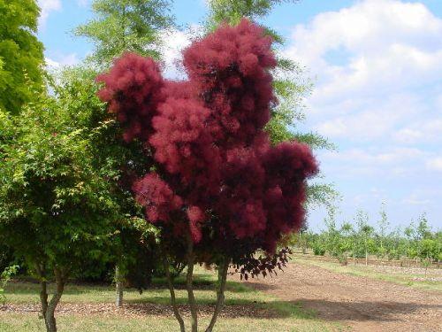 Velvet Cloak Smoke Tree For Sale Online | The Tree Center