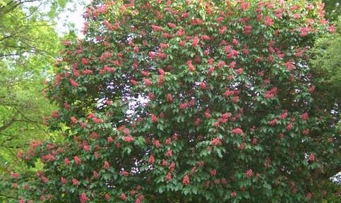Red Horse chestnut (Aesculus carnea 'Briotti')